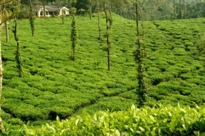 Tea Estate Coorg, Glenlorna tea estate Coorg, tea estate in Coorg