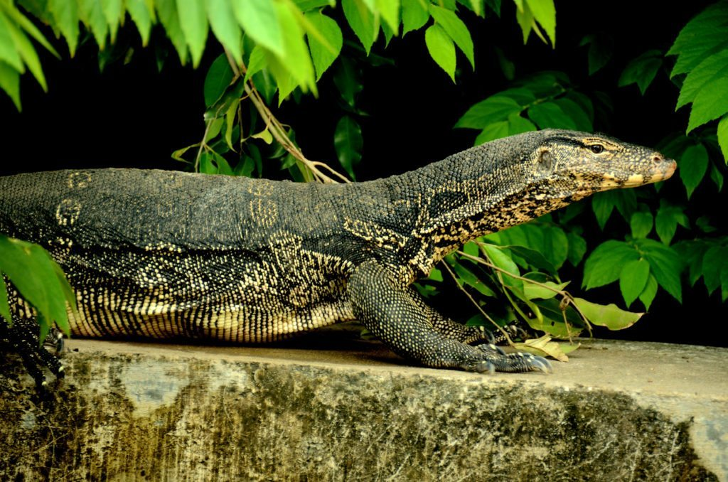 Water monitor, canals of bangkok, five memories of bangkok
