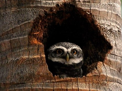 spotted owlet, Galibore, Bangalore, birds, birdwatching