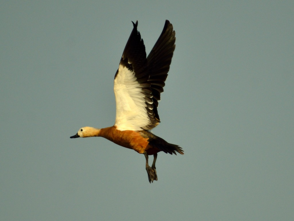 Mangalajodi, Orissa, Chilka lake, migratory birds, ruddy shelduck