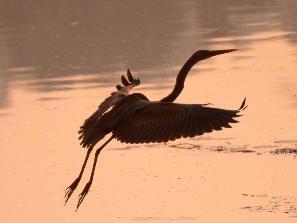 Purple heron, Goa, Carambolim Lake, Birding in Goa