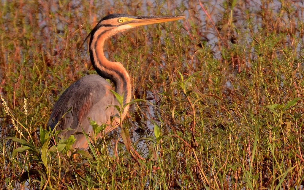 Birding, Birding watching in Goa, purple heron, Carambolim lake