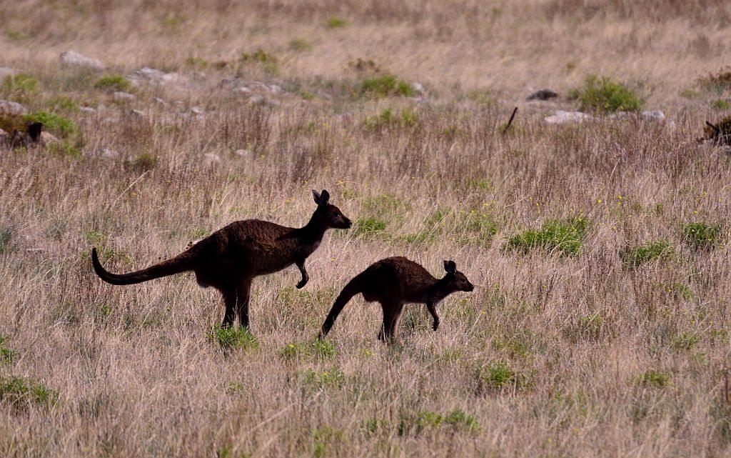 Kangaroos, Kangaroo Island, Adelaide