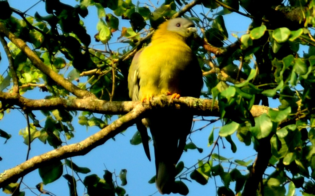 Yellow footed green pigeon, Coorg, birds