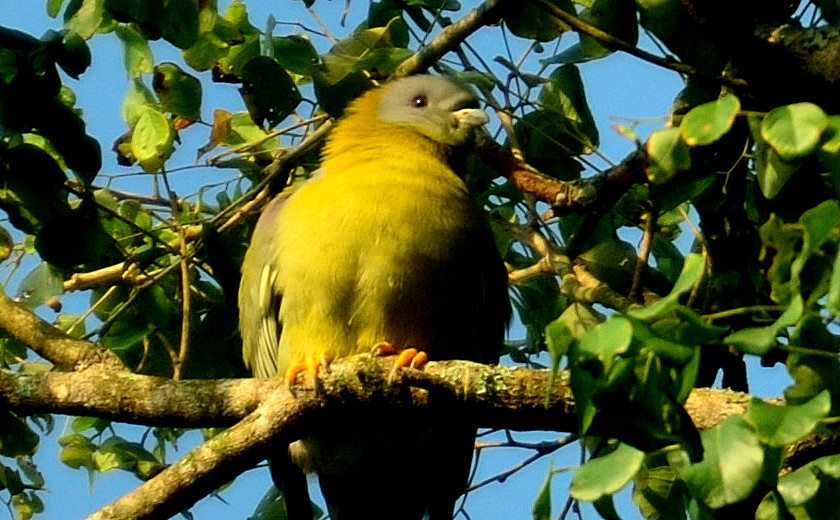 Yello footed green pigeon, birds, Coorg
