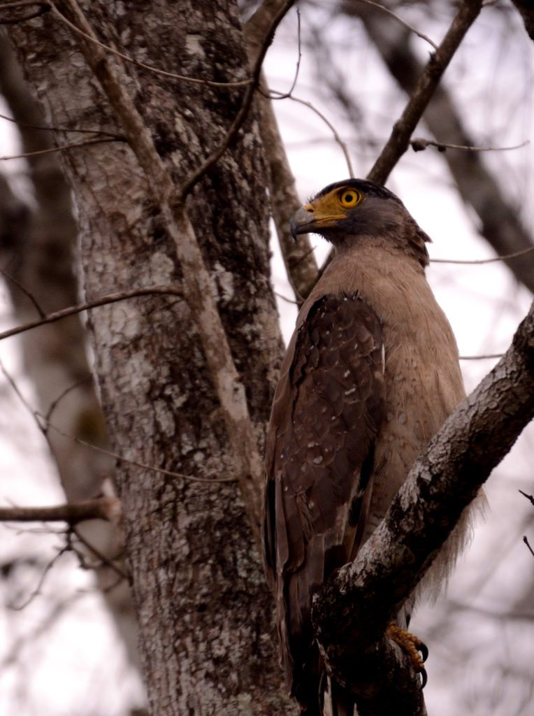crested serpent eagle , Coorg in monsoons