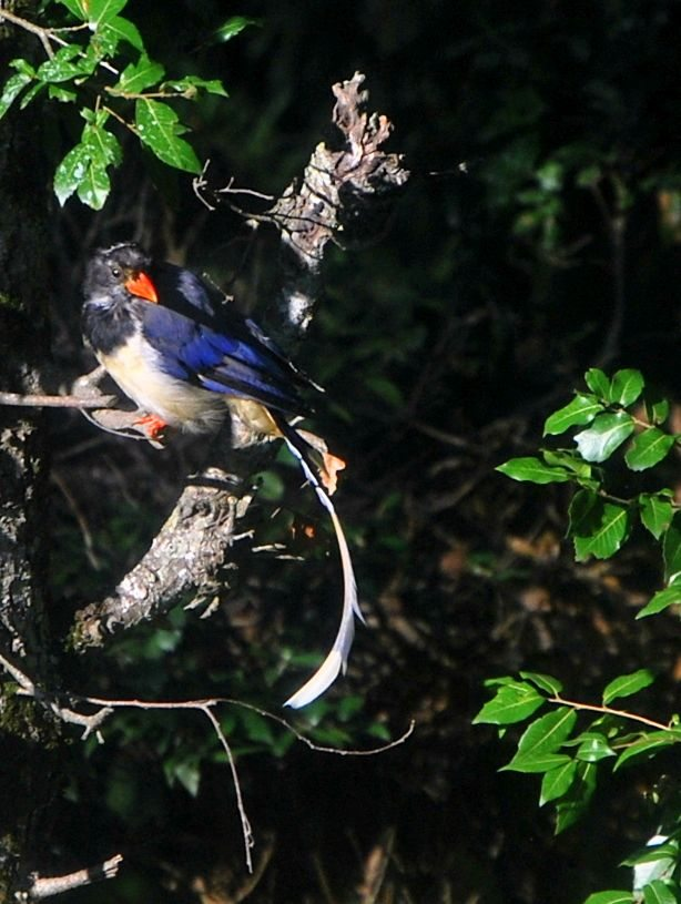 bird, Himalayas, red billed blue magpie