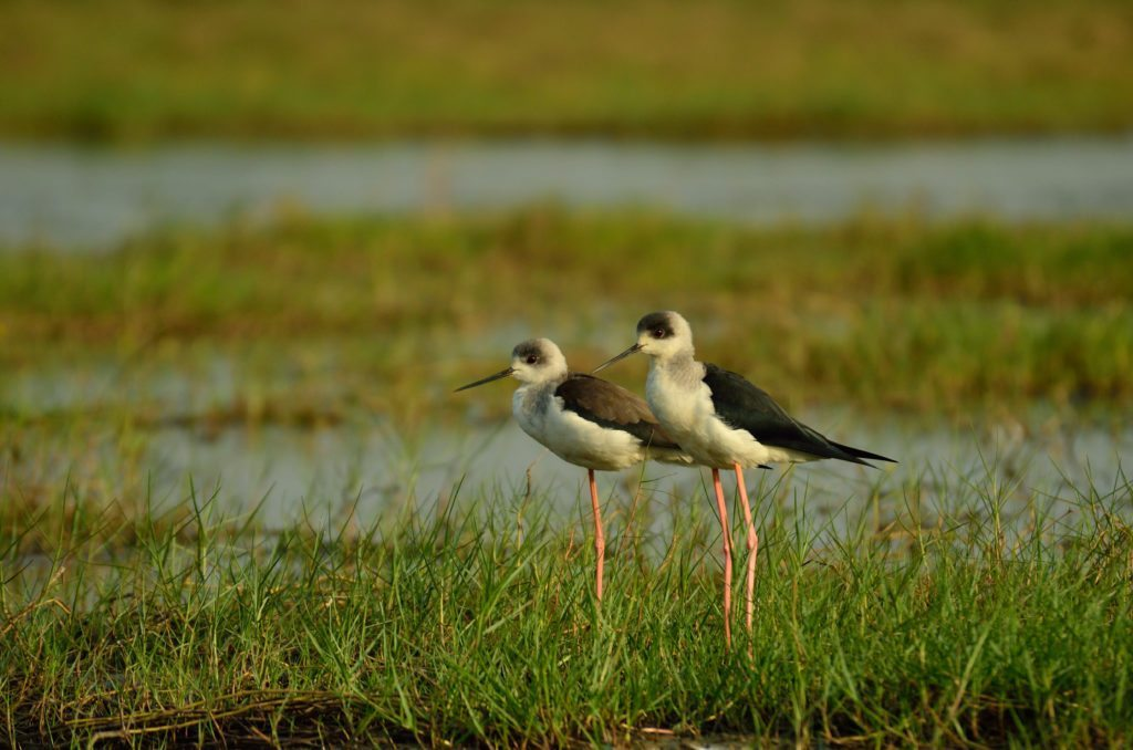 Black winged stilts, Mangalajodi