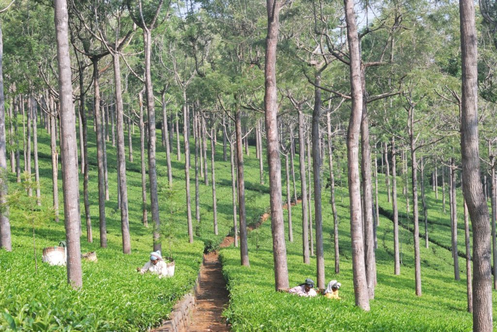 tea plantations, Nilgiris, OOty