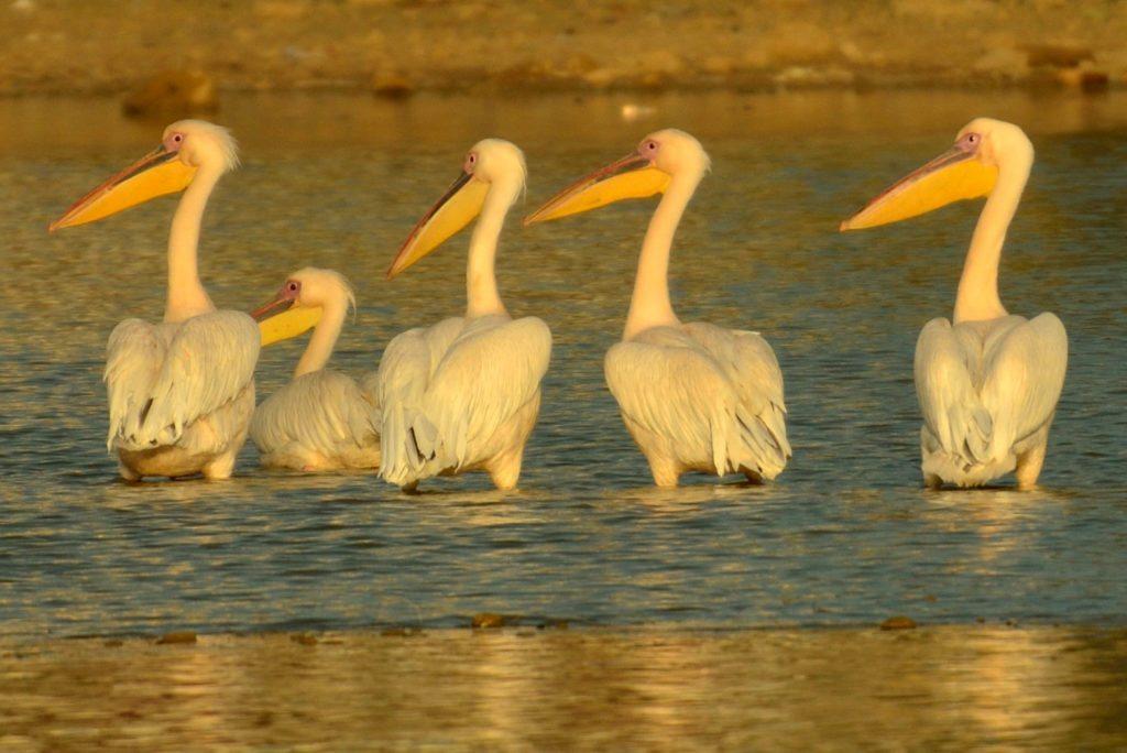 Pelicans in Kutch