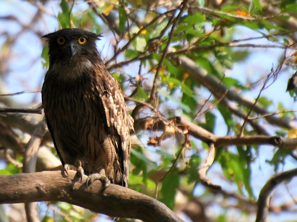 brown fish owl, biding, galbore