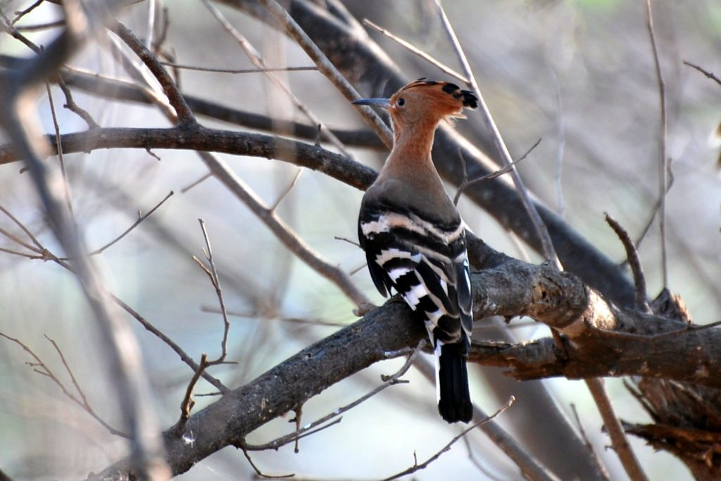 hoopoe, bird watching, Galibore