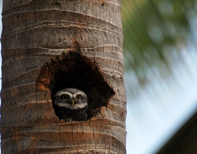 spotted owlet, birds, Galibore