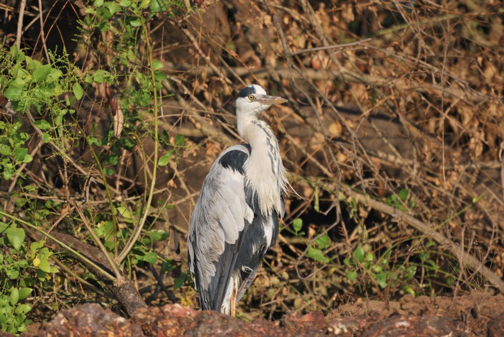 Goa, grey heron