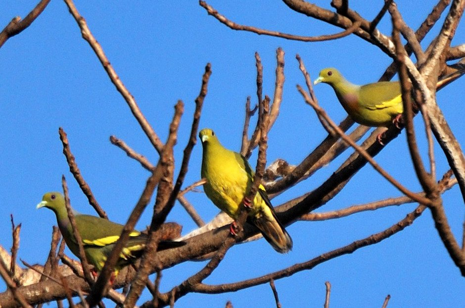 Yellow footed green pigeon - a life safer