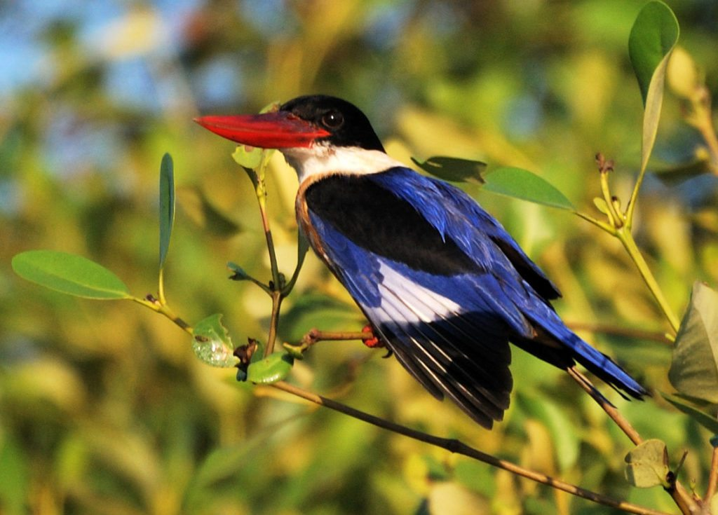 Goa, Black capped kingfisher