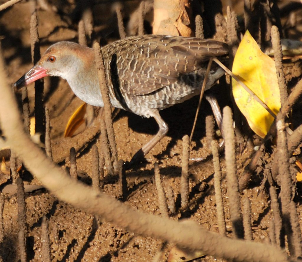 Goa, slaty breasted rail