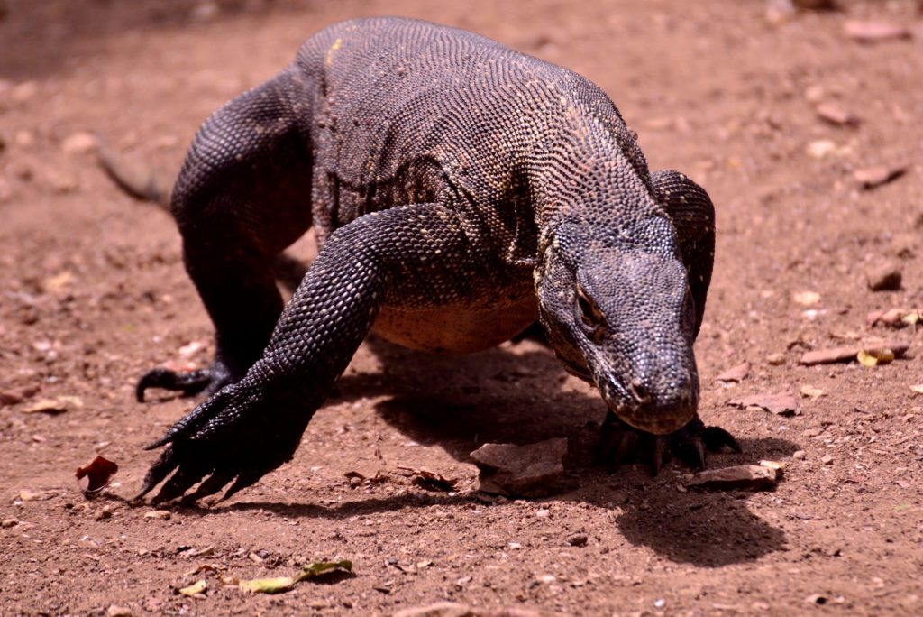 komodo dragon, indonesia