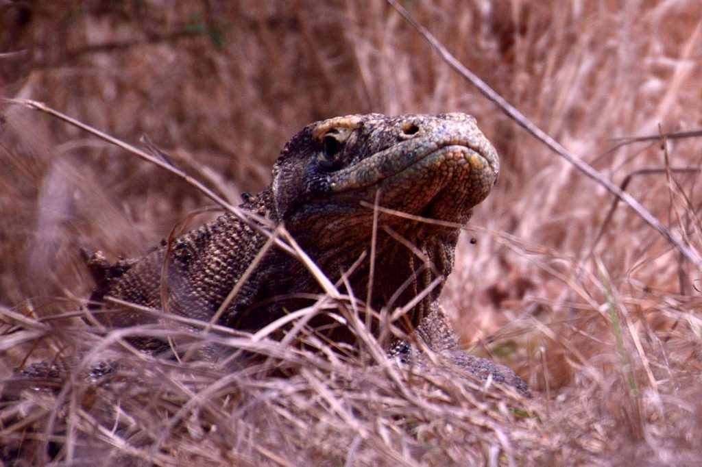 Up and close - Komodo Dragon, top ten things to do in Indonesia