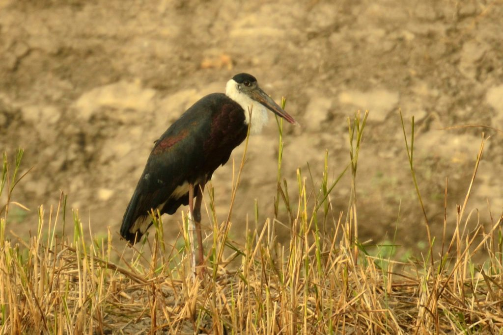 LRK, birding, Gujarat,Little Rann of Kutch