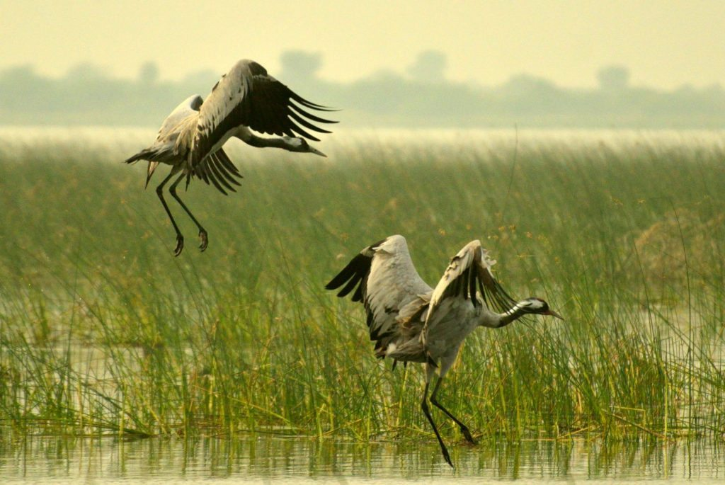 LRK , birds, Gujarat, Little Rann of Kutch