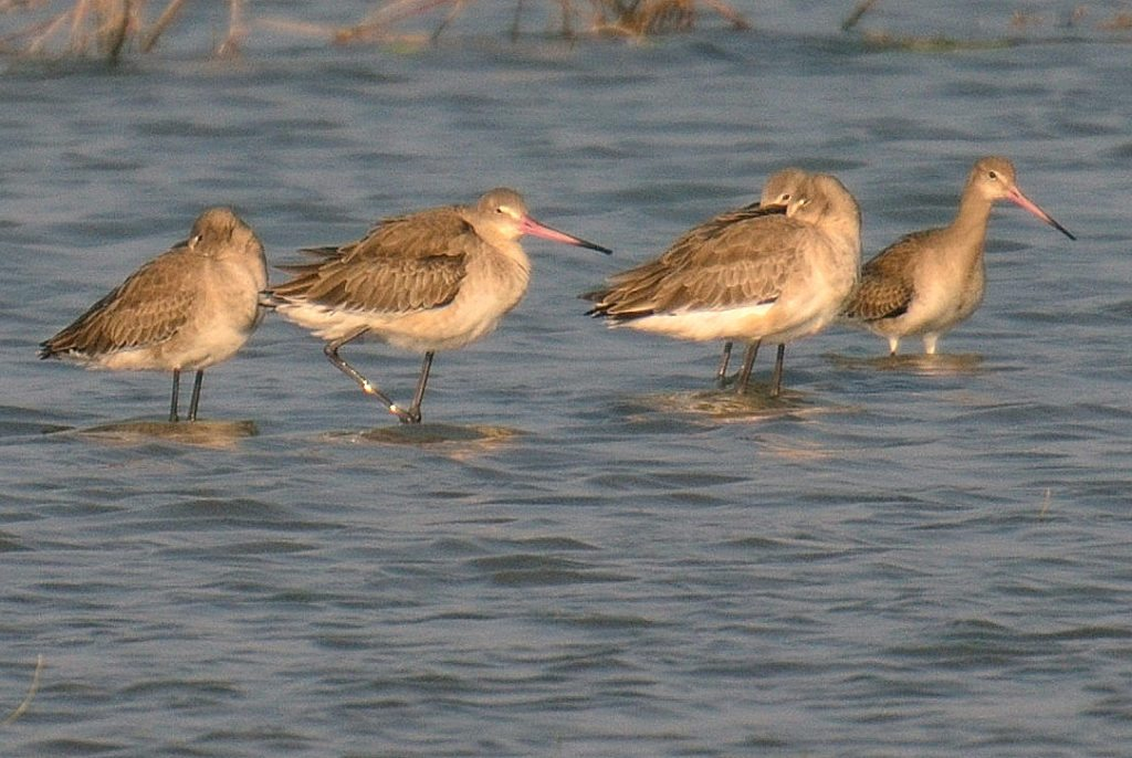 LRK , birds, Gujarat,Little Rann of Kutch