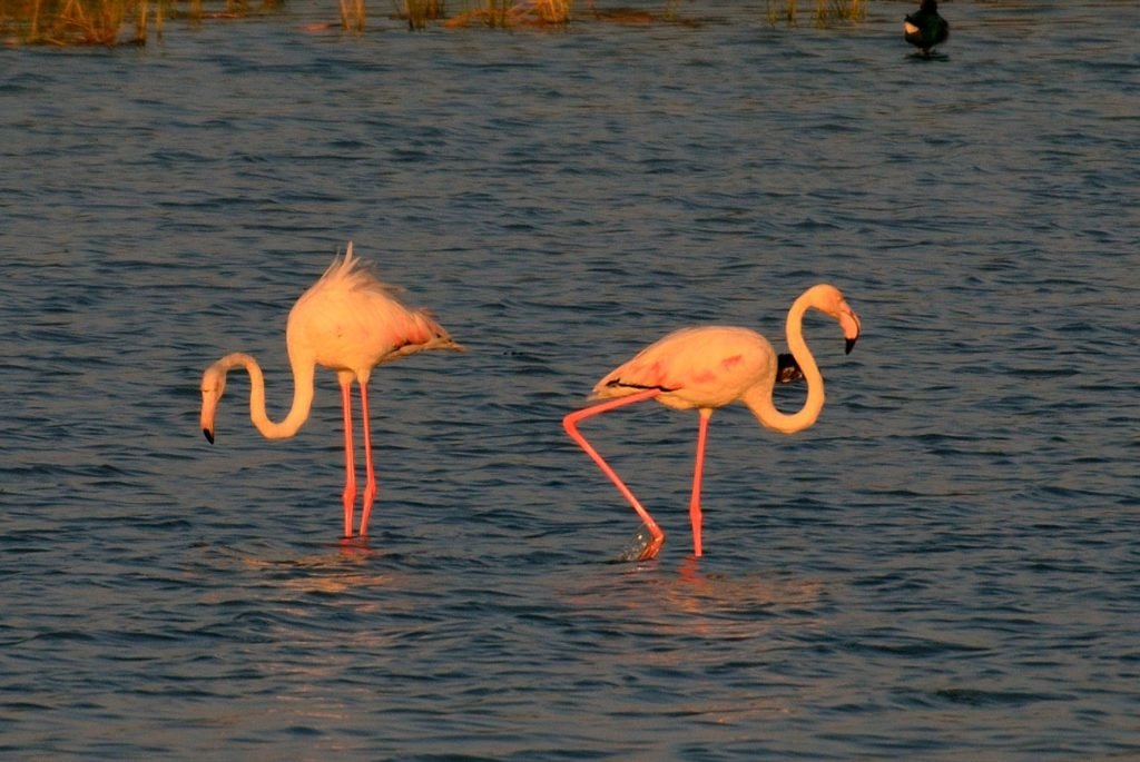 Nalsaraovar, flamingos, places near Ahmedabad