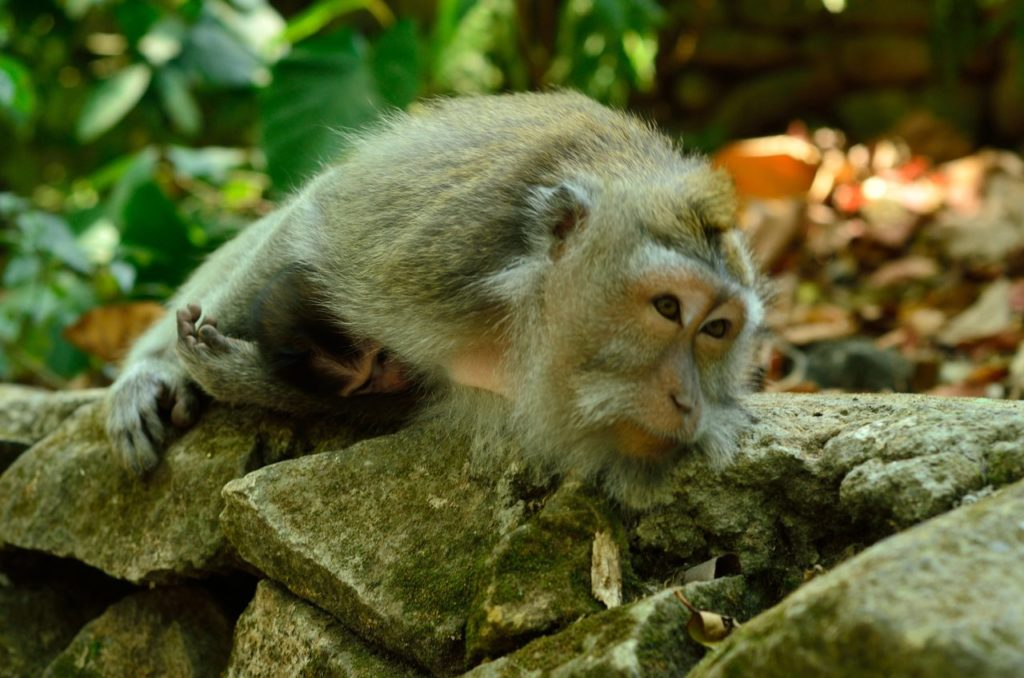 Monkeys are considered sacred in Monkey Forest Bali