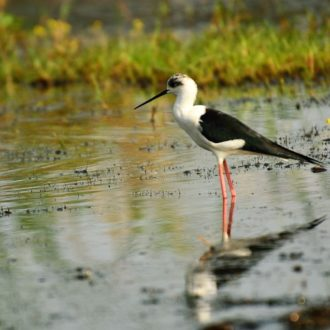 Odisha Mangalajodi bird watching