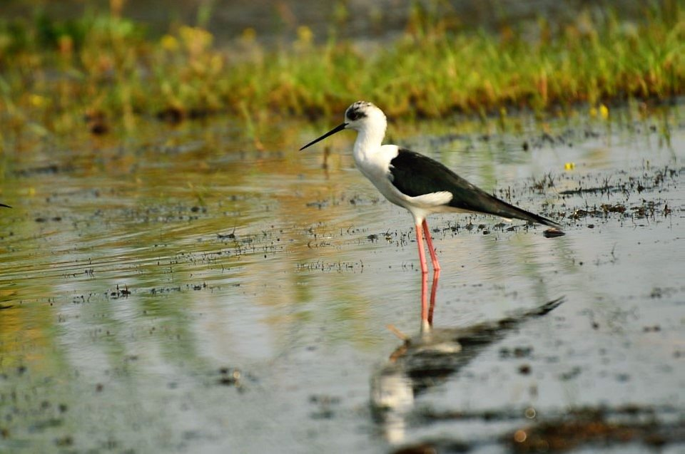 Black Winged Stilt in Odisha, Mangalajodi