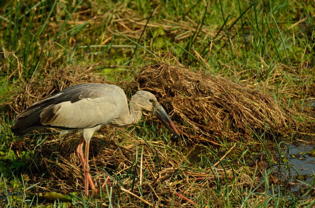 Billed Storks in Odisha, Mangalajodi