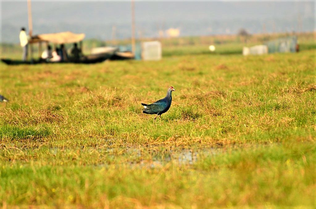 Purple Moorhen in Odisha Mangalajodi