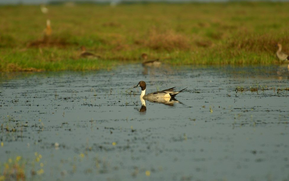 Ducks in Odisha, Mangalajodi