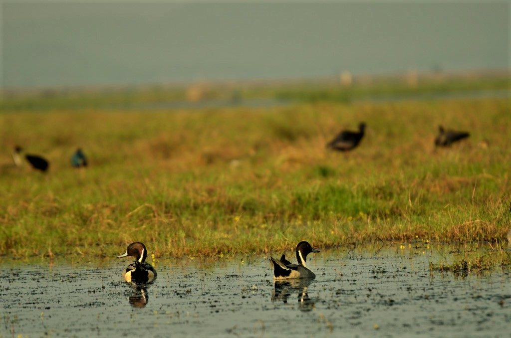 Ducks in Odisha Mangalajodi