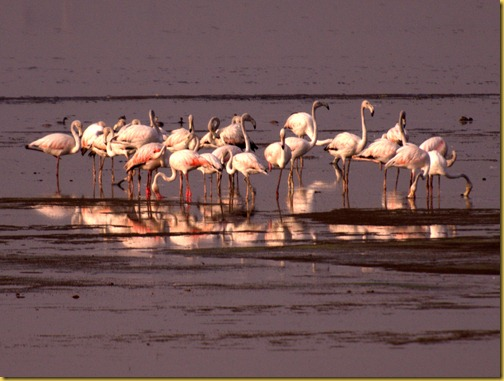 flamingos chennai photo, flamingos chennai pallikarnai marshes photo