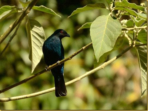 asian-fairy-blue-bird-ganeshgudi