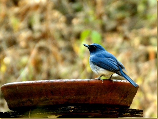 ganeshgudi-white-bellied-flycatcher